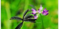 梦幻!动物园「紫云英」开花!如紫色毛毯飘芬芳 - 中时电子报